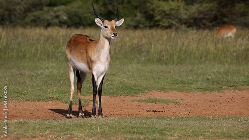 Ruminating male red lechwe antelope in natural habitat