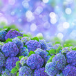 blue hortensia flowers