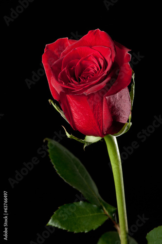 canvas print picture Red rose