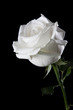 Obrazy na płótnie, fototapety, zdjęcia, fotoobrazy drukowane : White rose