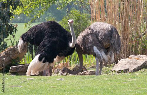 Plexiglas Struisvogel zwei Strauße