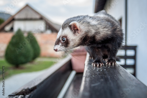 Ferret on a fence
