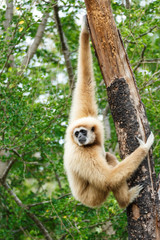 Gibbon (Hylobates lar) climb tree in forest ,Chiangrai ,Thailand