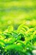 Leaves of tea