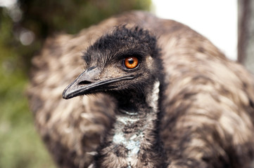 Emu looking at you