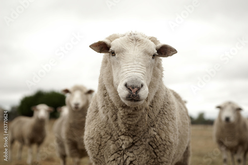 Canvas Schapen Sheep