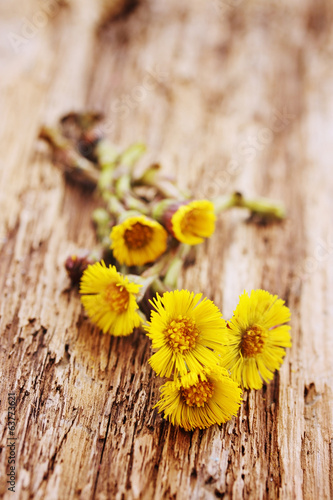 Flowers coltsfoot on  board