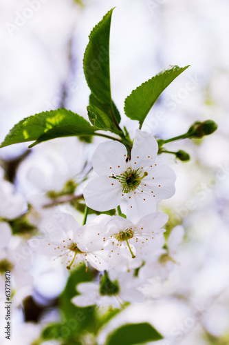 blooming flowers on cherry