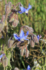 Blue flowers of borage (Borago officinalis) and bee