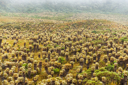 Frailejon Plants in Colombia