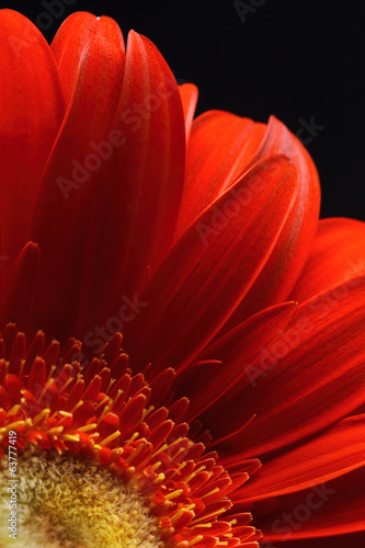 Red flower petals on dark background. Closeup.