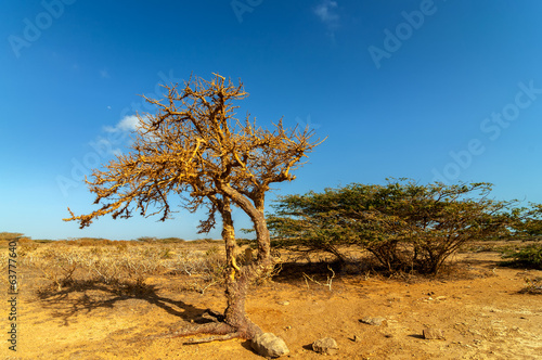 Dry Twisted Tree in a Desert