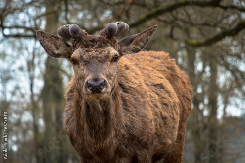 Red Deer in stag velvet #3