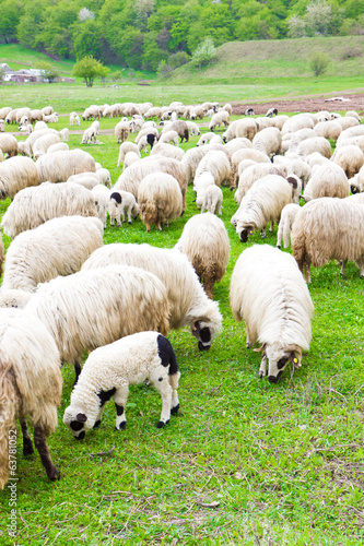 Many sheeps on field