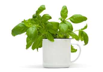 growing sweet basil plants in an enamel mug