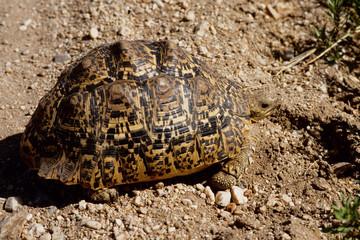 tartaruga leopardo  savana tanzania