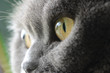 canvas print picture - cat's eyes, british blue shorthair