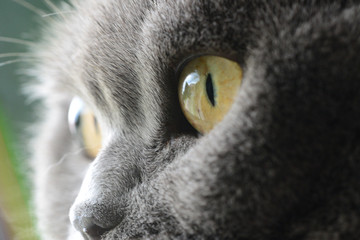 cat's eyes, british blue shorthair