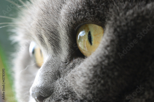 canvas print picture cat's eyes, british blue shorthair
