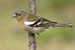 chaffinch male in natural habitat / Fringilla coelebs
