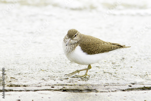 Common sandpiper Actitis hypoleucos