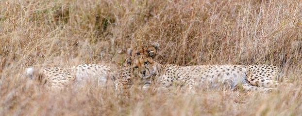 African cheetahs