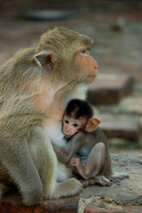 macaque monkey,