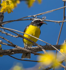 Birds on the yellow blossom