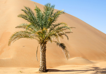Palm tree in desert Liwa dunes