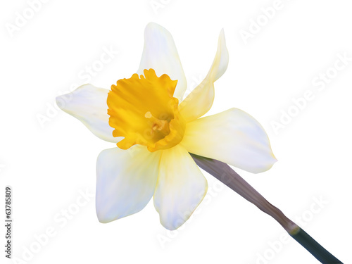 Photo-realistic illustration. Yellow jonquil flower isolated on