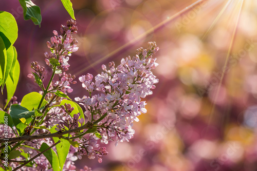 Fotobehang Lilac lilac flowers in spring