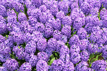 Hyacinth in the pot, The Hague - Netherlands