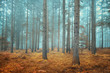Dreamy conifer forest - 63788841