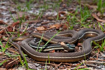 Bluestripe Ribbon Snake