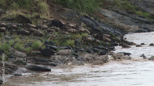Zebras and wildebeests coming out of a river