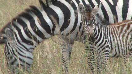 Zebra and a baby