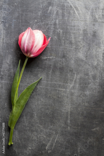 pink tulip  scratch board, copy space