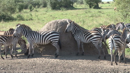 Zebras srcatching themselves against a termite hilll