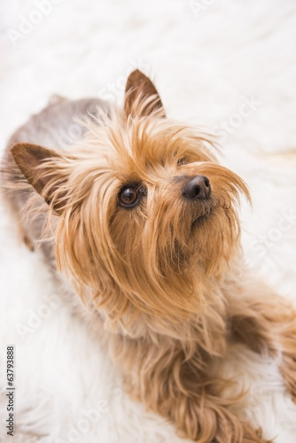 Laying Adult Silky Terrier