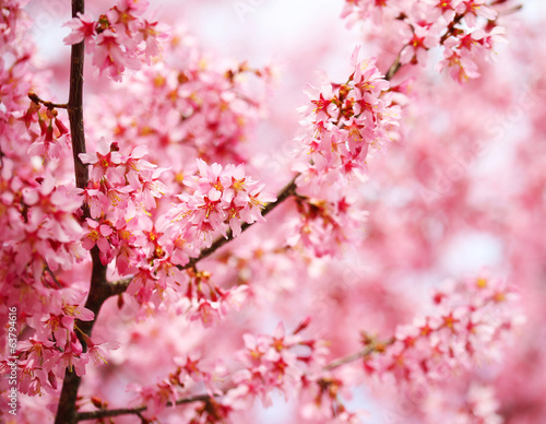 Cherry Blossom. Sakura in Springtime. Beautiful Pink Flowers