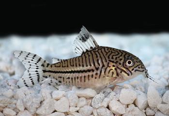 Leopard Cory Corydora catfish