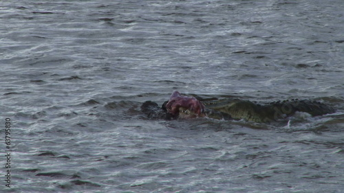 crocodiles hunting in mara river