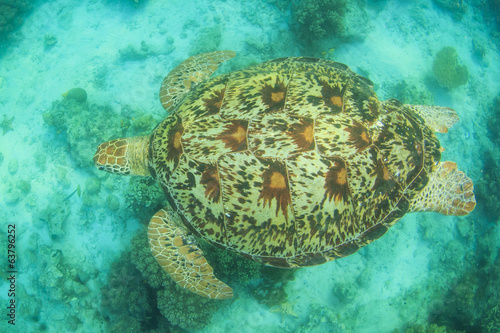Green Sea Turtle from above showing shell pattern