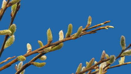 willow flowers bloom on a blue background, timelapse