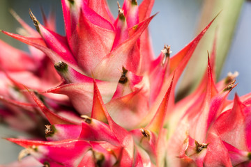 Beautiful red sharp cactus flower macro