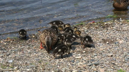 Duck with ducklings feed on the shore of the pond.