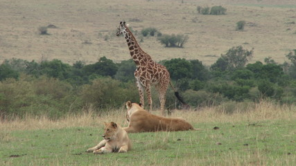 giraffes and lions face each other
