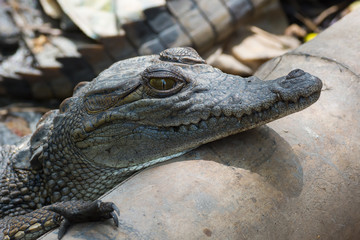 A young West African Crocodile resting its head on a pipe
