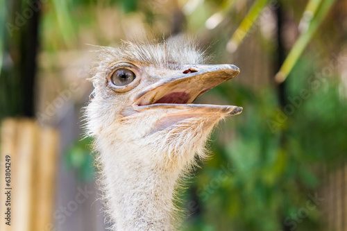 Ostrich head closeup.