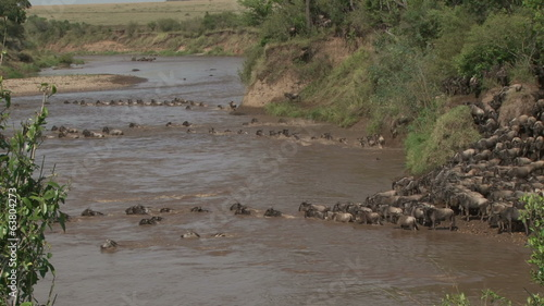 wildebeests crossing mara in a safe place